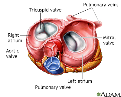 Heart valves - superior view