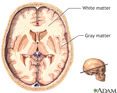 Gray and white matter of the brain