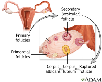 Follicle development