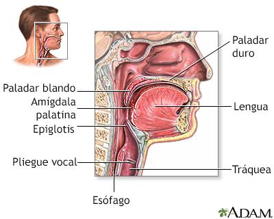 Anatomía de la garganta - Loyola University Health System