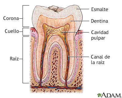 Anatomía de los dientes - Loyola University Health System