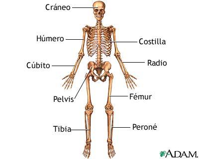 Anatomía esquelética anterior - Loyola University Health System